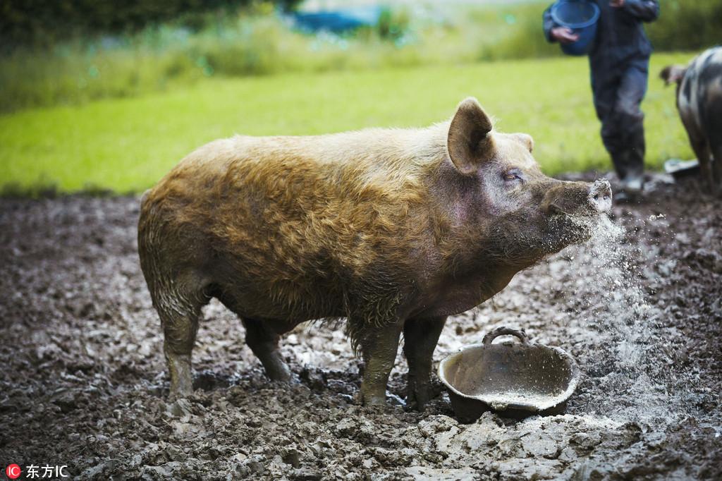 非洲猪瘟波及食品加工行业,安井、三全、金锣等受影响